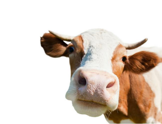 koe boer zoekt vrouw